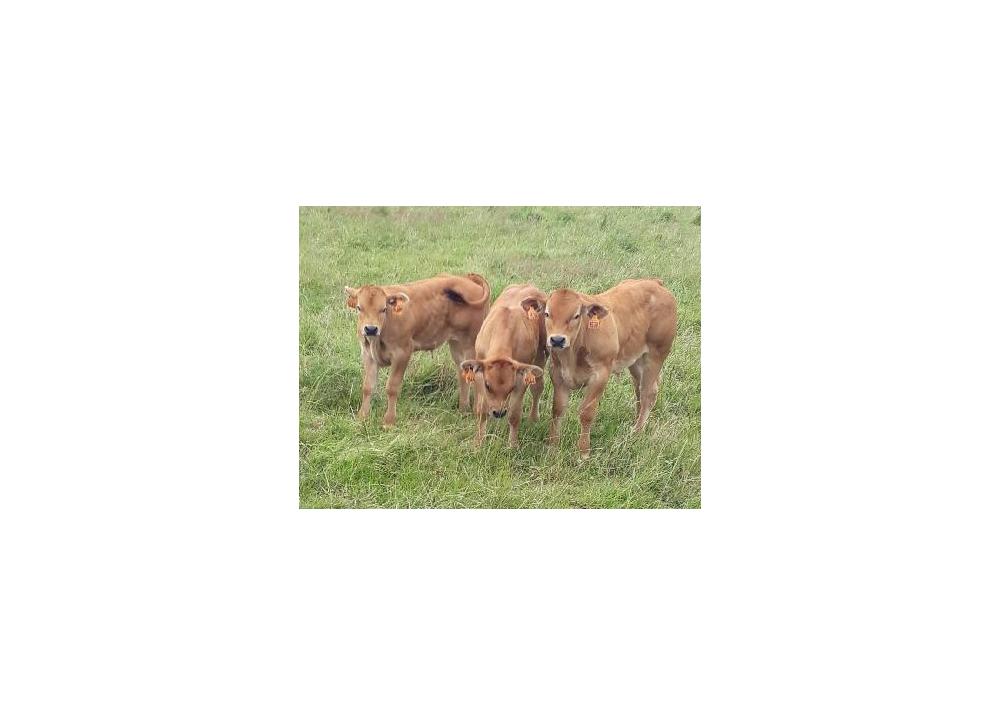 Veaux de MACARON GD - Prop :  Elevage Beaumard (49)